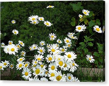 Canvas Print featuring the photograph Daisies by Vicky Tarcau