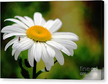 Daisy And The Bee Canvas Print