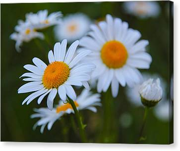 Canvas Print featuring the photograph Daisy by Athena Mckinzie