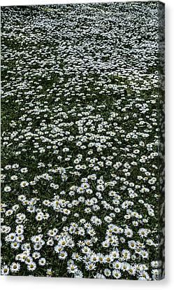 Daisy Daisy Give Me.... Canvas Print by John Farnan