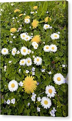 Daisy, Dandelions And Slender Speedwell Canvas Print by Bob Gibbons