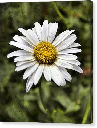 Daisy Dazzle Canvas Print by Peter Chilelli