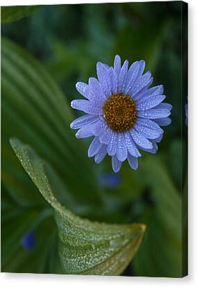 Canvas Print featuring the photograph Daisy Dew by Cheryl Perin