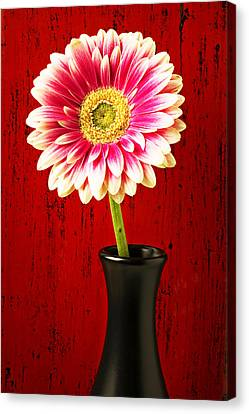 Daisy In Black Vase Canvas Print by Garry Gay