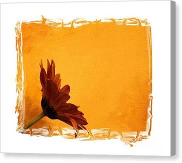 Daisy In The Yellow Corner Canvas Print by Marsha Heiken