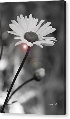 Daisy Lens Flare Canvas Print by Suzanne Gaff