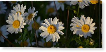 Canvas Print featuring the photograph Daisy by Rima Biswas