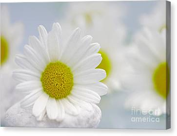 Daisy Sky Canvas Print by Tanja Riedel