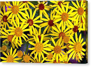 Daisys  Canvas Print by Kami McKeon