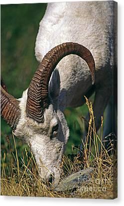 Canvas Print featuring the photograph Dall Sheep - Alaska by Craig Lovell