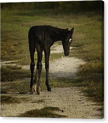 Damp Cracker Foal Canvas Print by Lynn Palmer