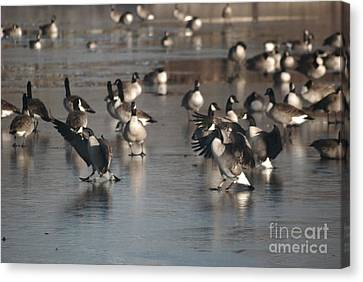 Canvas Print featuring the photograph Dancing Geese by Mark McReynolds