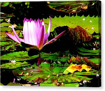 Canvas Print featuring the photograph Dancing Pink Water Lilly by Jodi Terracina