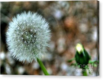 Canvas Print featuring the photograph Dandelion by Adrian LaRoque