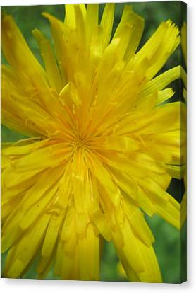 Canvas Print featuring the photograph Dandelion Close Up by Kym Backland