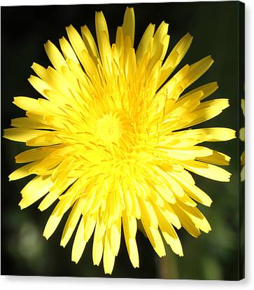 Dandelion Detail Canvas Print