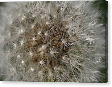 Canvas Print featuring the photograph Dandelion Fairy Seeds by Peg Toliver