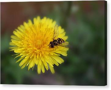 Canvas Print featuring the photograph Dandelion For Dinner by Lynnette Johns