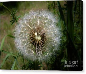 Canvas Print featuring the photograph Dandelion Going To Seed by Sherman Perry