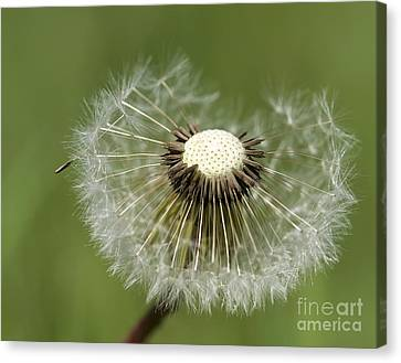 Dandelion Half Gone Canvas Print