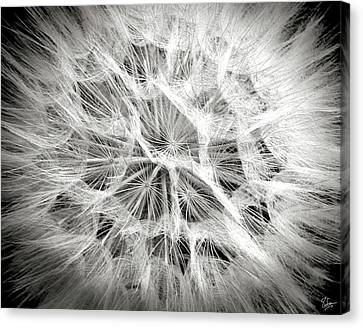 Dandelion In Black And White Canvas Print by Endre Balogh