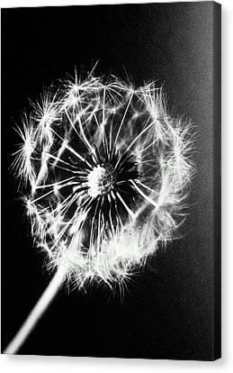 Dandelion Seed Head (taraxacum Officinale), Close-up (b&w) Canvas Print by Christian Adams