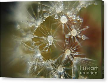 Canvas Print featuring the photograph Dandelion Seeds by Yumi Johnson
