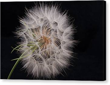 Dandelion Silhouette Canvas Print by Ivelina G