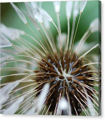 Dandelion Tears Canvas Print