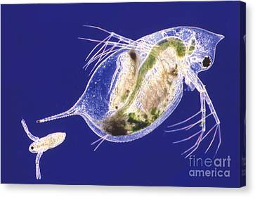 Daphnia Canvas Print by M. I. Walker