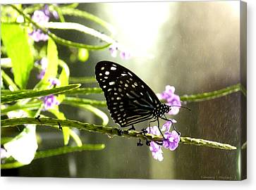 Dark Blue Tiger Butterfly In The Rain Canvas Print