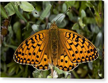 Dark Green Fritillary Butterfly Canvas Print by Dr Keith Wheeler
