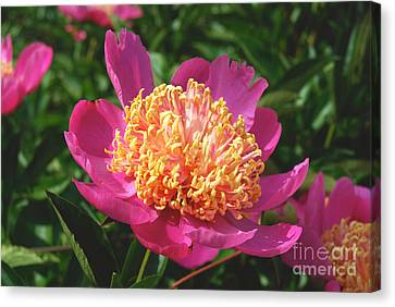 Dark Pink Peony Flower Series 3 Canvas Print