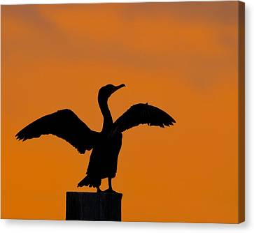 Phalacrocorax Auritus Canvas Print - Dawn Of A Double-crested Cormorant  by Tony Beck