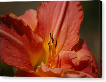 Daylilly Canvas Print by Randy J Heath