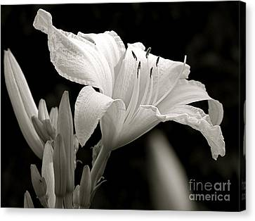 Daylily Study In Bw Iv Canvas Print by Sue Stefanowicz