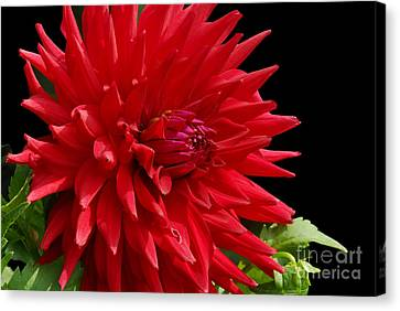 Decked Out Dahlia Canvas Print by Cindy Manero