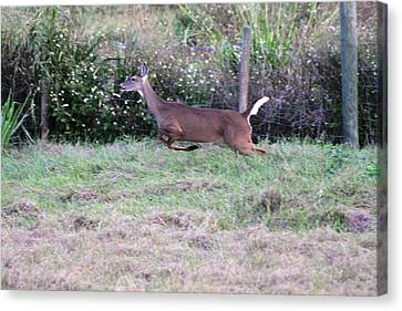Canvas Print featuring the photograph Deer At Viera by Jeanne Andrews