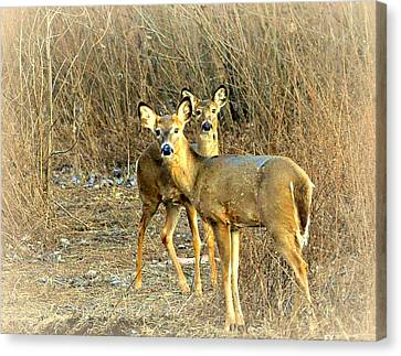 Deer Duo Canvas Print by Marty Koch