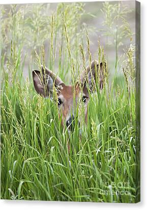 Deer In Hiding Canvas Print by Art Whitton