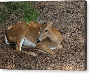 Deer  Canvas Print by Lisa Williams