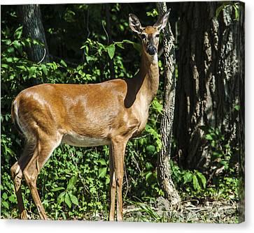 Deer Surprise Canvas Print by Edward Peterson