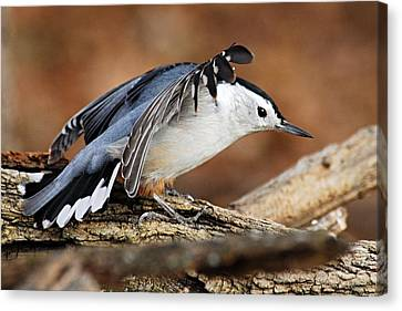 Defiant Nuthatch Canvas Print by Larry Ricker