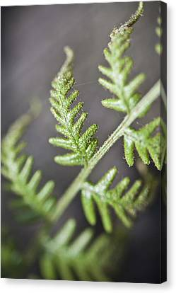 Canvas Print featuring the photograph Delicate by Carole Hinding