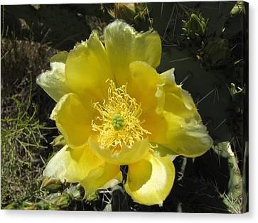 Delicate Desert Flower Canvas Print by FeVa  Fotos