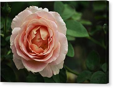 Delicate Pink Rose Canvas Print by Mary Machare