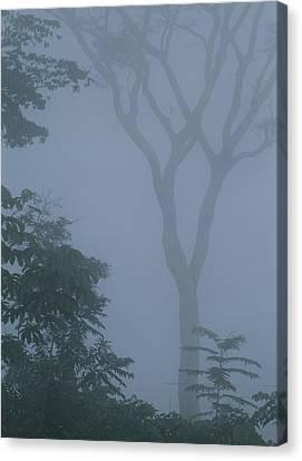Delicate Trees Appear Out Of The Mist Canvas Print by Mattias Klum
