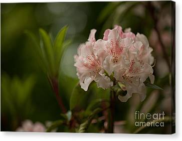 Delicately Peach Canvas Print by Mike Reid