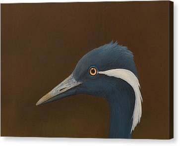 Demoiselle Crane Canvas Print by Norm Holmberg