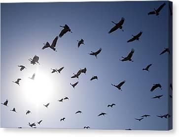 Demoiselle Cranes (anthropoides Virgo) Group Of Birds Flying, In Khichan, Rajasthan, India Canvas Print by Berndt Fischer